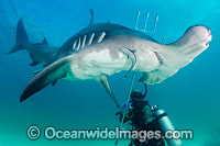 Great Hammerhead Shark Photo - Andy Murch