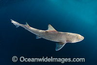 Brown Smooth-Hound Shark Photo - Andy Murch