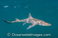 Grey Smoothhound Shark photo