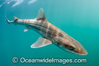 Grey Smoothhound Shark Mustelus californicus photo