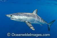 Shortfin Mako Shark Photo - Andy Murch