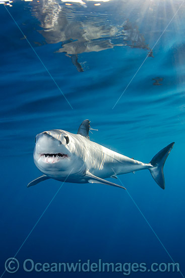Shortfin Mako Shark (Isurus oxyrinchus). Also known as Mako Shark, Blue Pointer, Mackeral Shark and Snapper Shark. Found in both tropical and temperate seas of the world. Photo taken at, Long Beach, Southern California, Eastern Pacific. Photo - Andy Murch