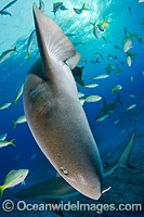 Nurse Shark Bahamas Photo - Andy Murch