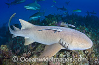 Nurse Shark Caribbean Photo - Andy Murch