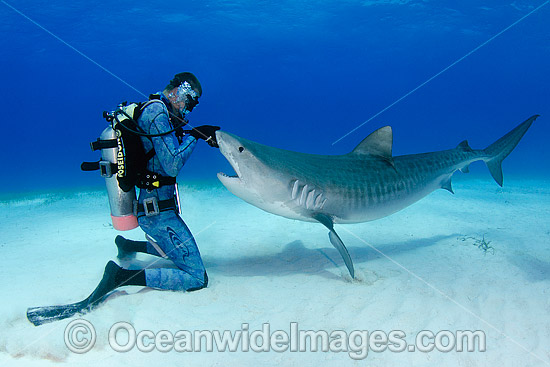 Diver with a Tiger Shark (Gelocerdo cuvier). Found in tropical seas, with seasonal sightings in warm temperate areas. Photo taken at Fish Tales near Tiger Beach, Grand Bahama Bank, Caribbean Sea, Atlantic Ocean. Photo - Andy Murch
