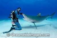 Tiger Shark and Diver Photo - Andy Murch