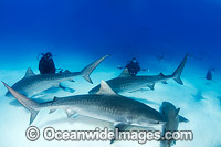 Tiger Sharks Caribbean Photo - Andy Murch