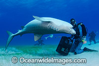 Diver with Tiger Shark Photo - Andy Murch