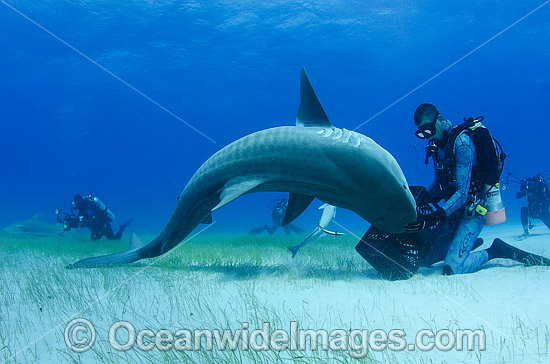 Diver feeding a Tiger Shark (Gelocerdo cuvier). Found in tropical seas, with seasonal sightings in warm temperate areas. Photo taken at Fish Tales near Tiger Beach, Grand Bahama Bank, Caribbean Sea, Atlantic Ocean. Photo - Andy Murch