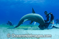 Diver feeding Tiger Shark Photo - Andy Murch