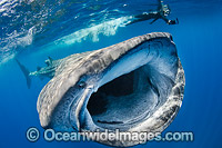 Whale Shark Caribbean Photo - Andy Murch