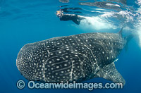 Diver and Whale Shark Caribbean Photo - Andy Murch
