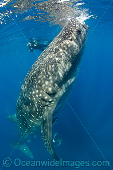 Diver observing a Whale Shark (Rhincodon typus), feeding in plankton rich water off Isla Mujeres, Caribbean Sea. Found throughout the world in all tropical and warm-temperate seas. Classified Vulnerable on the IUCN Red List. Photo - Andy Murch