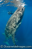 Scuba Diver and Whale Shark Photo - Andy Murch