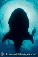 Diver and Whale Shark Photo - Andy Murch