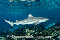 Blacktip Reef Shark Polynesia Photo - Andy Murch
