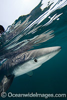 Blue Shark Rhoade Island photo