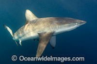 Bronze Whaler Shark South Africa Photo - Andy Murch