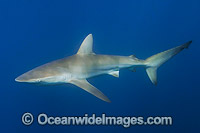 Bronze Whaler Shark Photo - Andy Murch