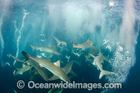 Bronze Whaler Sharks at Sardine Run Photo - Andy Murch