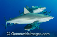 Caribbean Reef Shark Bahamas Photo - Andy Murch