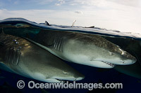 Lemon Sharks Caribbean Photo - Andy Murch