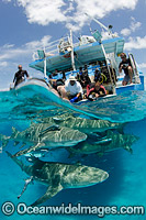 Lemon Sharks with tourists Photo - Andy Murch