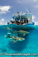 Lemon Sharks at boat Photo - Andy Murch