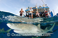 Lemon Sharks and tourists Photo - Andy Murch