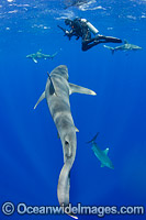 Oceanic Whitetip Shark Cat Island Photo - Andy Murch
