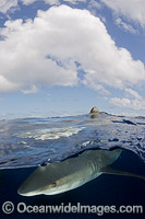 Oceanic Whitetip Shark Cat Island photo
