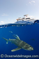 Oceanic Whitetip Shark Bahamas photo