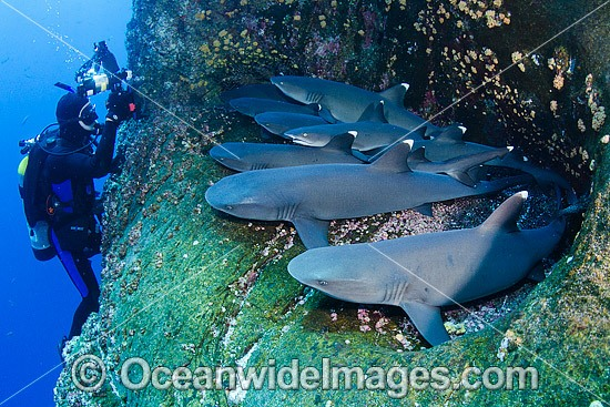 Whitetip Reef Shark (Triaenodon obesus). Photo taken at Roca Partida, Socorro, Revillagigedo Islands, Mexico, Eastern Pacific. Photo - Andy Murch