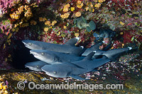 Whitetip Reef Sharks Photo - Andy Murch