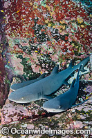 Whitetip Reef Sharks Mexico Photo - Andy Murch