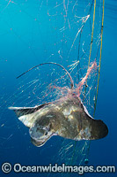 Bat Ray caught in Gill Net photo