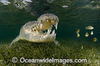 American Crocodile Jaws Photo - Andy Murch