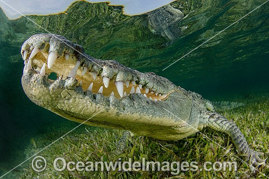 American Crocodile (Crocodilus acutus). Photo taken at Banco Chinchorro Atoll, Quintana Roo, Southeastern Mexico. Caribbean Sea.
