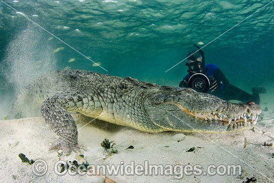 Diver photographing American Crocodile (Crocodilus acutus) underwater. Photo taken at Banco Chinchorro Atoll, Quintana Roo, Southeastern Mexico. Caribbean Sea. Photo - Andy Murch