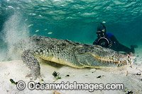 American Crocodile Photo - Andy Murch