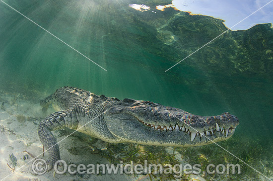 American Crocodile (Crocodilus acutus). Photo taken at Banco Chinchorro Atoll, Quintana Roo, Southeastern Mexico. Caribbean Sea. Photo - Andy Murch
