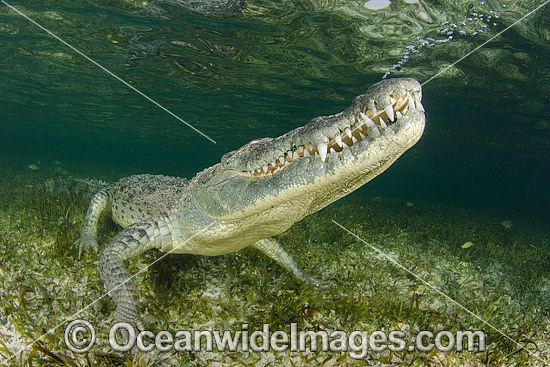 American Crocodile (Crocodilus acutus), exhaling bubbles before surfacing for another breath. Photo taken at Banco Chinchorro Atoll, Quintana Roo, Southeastern Mexico. Caribbean Sea. Photo - Andy Murch