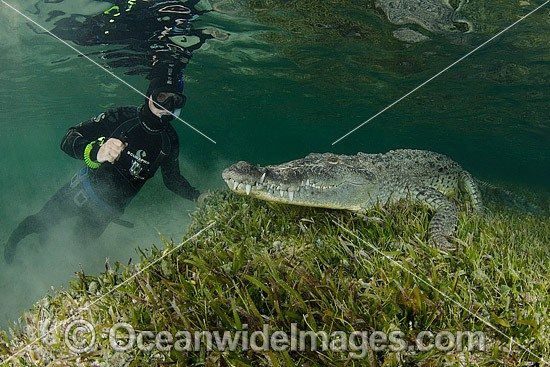 Diver photographing an American Crocodile (Crocodilus acutus). Photo taken at Banco Chinchorro Atoll, Quintana Roo, Southeastern Mexico. Caribbean Sea. Photo - Andy Murch