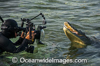 Diver Photographin American Crocodile Photo - Andy Murch