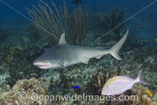 Blacknose Shark (Carcharhinus acronotus). Common in the tropical and subtropical waters of the western Atlantic Ocean. Photo taken at Triangle Rocks, South Bimini Island, Caribbean Sea. Photo - Andy Murch