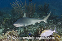 Blacknose Shark photo