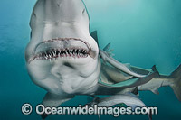 Blacktip Shark image