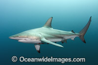 Blacktip Shark South Africa Photo - Andy Murch