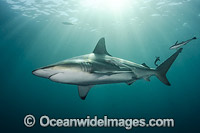 Blacktip Shark Photo - Andy Murch