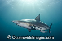 Blacktip Shark Carcharhinus limbatus Photo - Andy Murch